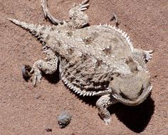 Used to play with Horny Toads when I was a kid!  Haven't seen one in ages.