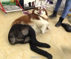 Dogs Wearing Pantyhose (Latest Internet Craze in China). Sad yet we all laughed when we first saw these useless images. Dog Wearing Pantyhose, In Pantyhose, Dogs In Tights, Dog Pictures, Funny Pictures, Funny Pics, Dog Poses, Pose For The Camera, Animal Crackers