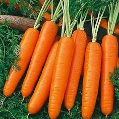 Carrot, Scarlet Nantes Popular among home gardeners. Wonderful flavor. Attractive appearance. Grows into 5 ½ to 6 inch long cylindrical shape. Sweet, plump, and nearly coreless. Maturity in approximat