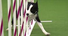 A Velocidade De Um Cão Que Venceu Uma Prova De Agilidade Em Menos De 31 Segundos
