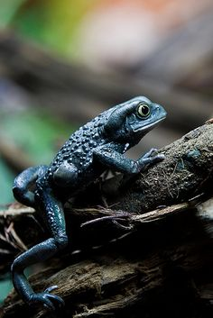 Waxy Monkey Frog ~ By Sophie L. Miller.  He doesn't even look like his waxy neighbor! ???