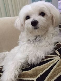 Pure white Maltese puppy lounging on a couch.
