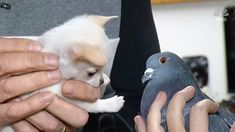 Puppy that can't walk befriends pigeon that can't fly — and it's adorable Cuddle Buddy, New Friendship, Chihuahua Puppies, Pigeon, News Today, Animal Shelter, Pakistani, Thursday, Cute Pictures