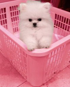 White puppy in a pink laundry basket