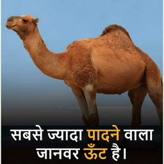 rajasthani camel animals rochaktathya india world generalknowledge amazing study The highest pedestrian is the camel Gernal Knowledge, General Knowledge Facts, Knowledge Quotes, Some Amazing Facts, Interesting Facts About World, Best Friend Quotes Funny, Best Funny Jokes, Best Motivational Quotes, Inspirational Books