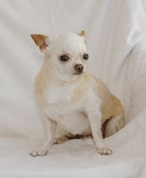 Beautiful Chihuahua Chubby Adorable Dog - 95bf421220e5d461fa2f4a891c3c2ba9--strict-diet-chihuahua-dogs  Perfect Image Reference_191762  .jpg
