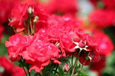 Realistic Graphic DOWNLOAD (.ai, .psd) :: http://jquery.re/pinterest-itmid-1006583906i.html ... red roses close up spring season ...  bloom, blossom, bud, bulk, burgeon, flora, floral, flower, garden, green, herb, leaf, nature, outdoor, petal, plant, red, rose, rosebud, roses, season, spring, summer  ... Realistic Photo Graphic Print Obejct Business Web Elements Illustration Design Templates ... DOWNLOAD :: http://jquery.re/pinterest-itmid-1006583906i.html