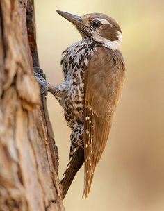 Arizona Woodpecker - Picoides arizonae