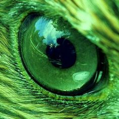 Came across this on Wikipedia. It is the eye of a Red Tailed Hawk, a bird whose population is growing rapidly in my area (Central Indiana). Beautiful isn't it? Go Green, Green Eyes, Green Colors, Gray Color, World Of Color, Color Of Life, Beautiful Eyes, Beautiful Birds, Amazing Eyes