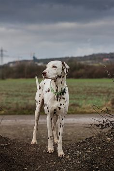 Beautiful Dalmation!