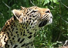 Leopard Portrait Dan Sproul