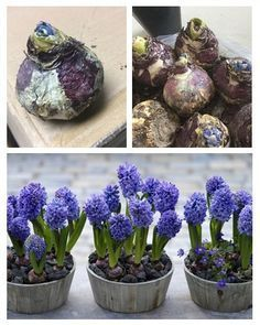 Os jacintos são flores lindas e nós vamos explicar tudo o que precisa fazer para as plantar! #flores #plantas #jardim #jacintos