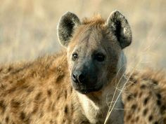 The spotted hyena (Crocuta crocuta), also known as the laughing hyena,is a monospecific species of hyena native to Sub-Saharan Africa. African Wild Dog, African Safari, African Animals, Dog Facts, Animal Facts, National Geographic, Wildlife Wallpaper, Cave Bear, Carnival Of The Animals