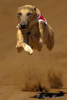 Flying High Greyhound - Pinned by Mak Khalaf This Italian Whippet Greyhound is flying high on the race track to winning line. Animals DogFanie HeymansGreyhoundsRaceSouth AfricaSpeedafricaanimalsdogswippet by PhotoPixSA Greyhound Rescue, Greyhound Art, Greyhound Puppies, Magyar Agar, Racing Dogs, Greyhound Pictures, Flying Dog, Sleepy Dogs, Dog Steps