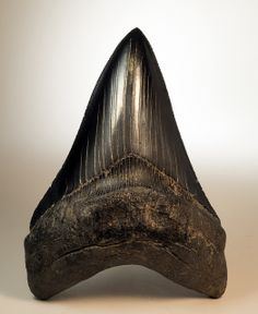 Megaladon Tooth - Flickr - Photo Sharing!