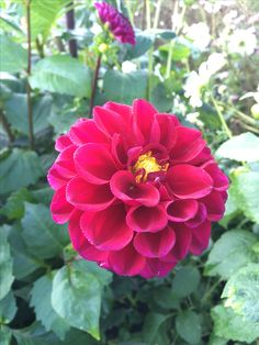 Belgian dahlia in October