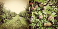 Let the apple harvest commence!