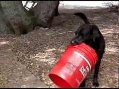 Labrador Dog Loves To Play With The Bucket - #funny #dog