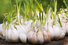 Container Gardening For Beginners Growing Garlic for Beginners. I really don't know too many people who don't like, if not love, the taste of garlic. We easily use bulbs of garlic a Gardening For Beginners, Gardening Tips, Flower Gardening, Planter Ail, Garlic Sprouts, Garlic Seeds, Garlic Bulb, Cancer Fighting Foods, Cancer Foods