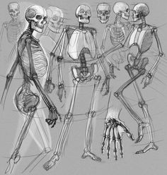 Skeletons: dynamics positions. Study of anatomy.