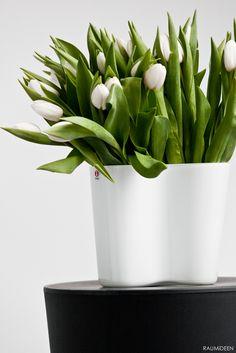 White tulips in Aalto vase