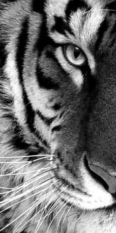 Tiger D HD Widescreen Wallpapers Amazing Wallpaperz Image Of
