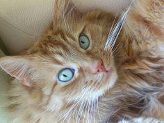 Magnifique chat roux rayé, aux yeux turquoise. Peut-être un mélange d'himalayen et de chat de gouttière? La nature fait de telles merveilles! ʚ(ˆ◡ˆ)ɞ