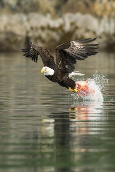 An American Bald Eagle snatches a rockfish carcass out of Blackstone Bay in Alaska's Prince William Sound. Birds Of Prey, Beautiful Birds, Animals Beautiful, Eagle Pictures, Eagle Art, Mundo Animal, Big Bird, Birds Eye View, Wild Birds