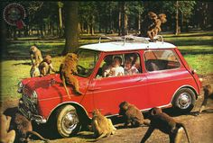 Sometimes you just want to tell folk to stop all that Monkeying around... lol love this pic, not sure I'd fancy a safari park enclosure in my Mini though!