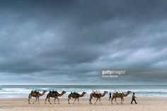 Camels arrive at Bondi Beach on June 19, 2016 in Sydney, Australia. Camel rides are part of the The Bondi Winter Magic festival which highlights the beauty of Bondi in winter and runs from Sunday 19 June until 31 July.
