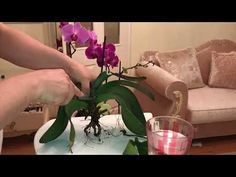 How to Make 100 Orchids From One Without Keiki Paste Youtube I, Irrigation, House Plants, Orchids, How To Make, Soda, Gardens, Lifestyle, Fashion