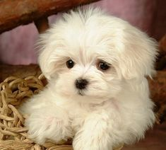 Maltipoo is a cross breed between Maltese and Poodle. Maltipoo Rescue, Cute Puppies, Cute Dogs, Allergic To Dogs, Hypoallergenic Dog Breed, Dog Haircuts, Pet Allergies, Maltese Dogs, Little Dogs