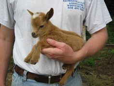 Sweet Goat Farm, Westport, MA-Goats - nigerian dwarf goats, does, bucklings, wethers Mini Goats, Cute Goats, Cute Baby Animals, Animals And Pets, Funny Animals, Nigerian Dwarf Goats, Goat Farming, Cute Creatures, Poodles