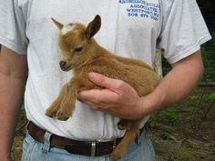 Sweet Goat Farm, Westport, MA-Goats - nigerian dwarf goats, does, bucklings, wethers