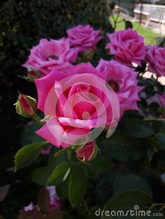 Photo about Beautiful pink roses in the garden. Image of color, beautiful, bush - 150851112 Images Of Colours, Beautiful Pink Roses, Bloom Blossom, Flower Images, Bouquet, Stock Photos, Floral, Garden, Flowers