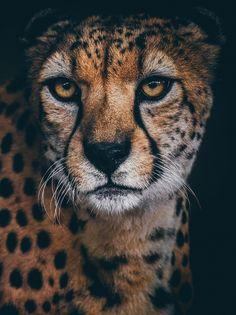 Cheetah Portrait by Paul E.M.