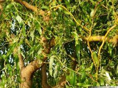 vrba kroucená (Salix x erythroflexuosa)