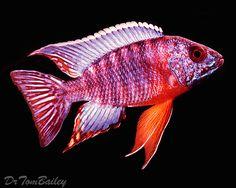 Malawi Peacock Cichlid - Cichlids - An Index to all the Cichlid Fish Listed in AquariumFish.net.
