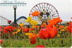 Poppies at the Pacific Pier in Disney's California Adventure, The Disneyland Resort, Anaheim, CA Disney California Adventure, Disneyland Resort, Poppies, Photography, Outdoor, Outdoors, Photograph, Fotografie, Photo Shoot
