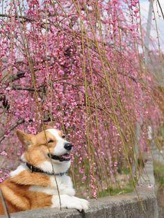 Cherry Blossom Corgi!   Cute Pembroke Welsh Corgi Goro, pinned from the corgi lovers at corgasbord