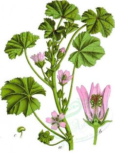 flora-00834 - Malva_neglecta_64 [652x870] instant Pictorial download craft engravings old royalty 300 dpi naturalist flora Paper leaves masterpiece grass supplies pre-1923 scrapbooking domain collage Edwardian 1900s ArtsCult clipart herb fabric beautiful vintage Graphic Victorian  botanical art leaf decoration picture pages transfer plants 1700s printable qulity 17th century Artscult high nice wall 1800s ArtsCult.com nature natural ornaments use botany books public blooming paintings free…