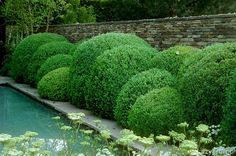 cloud clipped boxwood