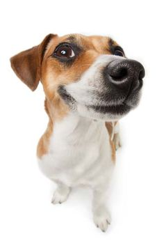 Find Smiling Jack Russel Terrier Dog Pleased stock images in HD and millions of other royalty-free stock photos, illustrations and vectors in the Shutterstock collection. Jack Russells, Cute Small Dogs, Oils For Dogs, Pet Shampoo, Tier Fotos, Jack Russell Terrier, Terrier Dogs, Dog Care, Pet Shop