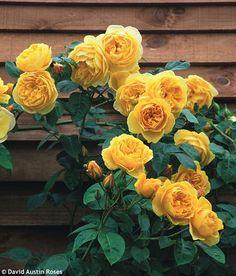 ~David Austin Roses - Graham Thomas
