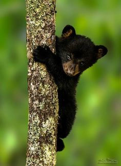 "Young Bear Cub:  ""Oh Dear!  Shall I continue to go further up?  Or start to climb down now?""   <3"