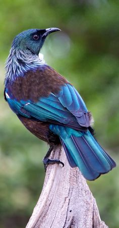 Tui, New Zealand - Prosthemadera novaesselandiae - Endêmica da Nova Zelândia Pretty Birds, Beautiful Birds, Animals Beautiful, Cute Animals, Kinds Of Birds, All Birds, Love Birds, Exotic Birds, Colorful Birds