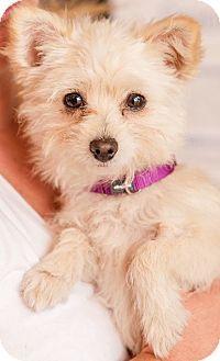 Los Alamitos, CA - Yorkie, Yorkshire Terrier/Terrier (Unknown Type, Small) Mix. Meet Kia, a dog for adoption. http://www.adoptapet.com/pet/12858545-los-alamitos-california-yorkie-yorkshire-terrier-mix