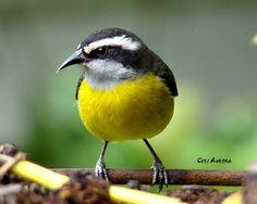 A arte de observar pássaros...: Cambacica..um pouco sobre este passarinho tão esperto
