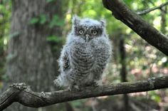 Screech Owl babies are very aggressive when it comes to fighting their siblings for food, and may even go as far as killing their weaker brothers or sisters.