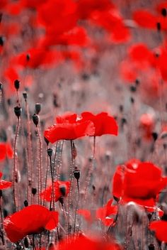 red poppies - reminds me of Cortona...